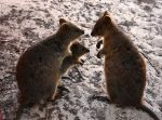 Quokka family (Source: Wikipedia Commons)
