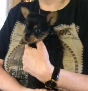 Amber, our Silky Terrier pup, 6 weeks old, two weeks before coming to her new home with us.