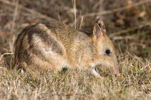 Eastern Barred Bandicoot. Photo J.J. Harrison, via Wikipedia Creative Commons