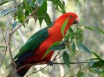 Australian King Parrot (Source: Wikipedia Commons)